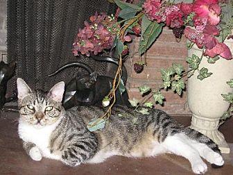 Domestic Shorthair Cat for adoption in Fullerton, California - Vinnie