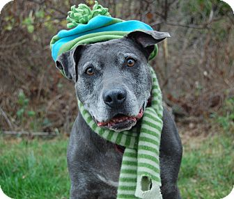 American Staffordshire Terrier Mix Dog for adoption in Wilmington, Delaware - Matteo