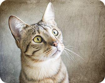Bengal Cat for adoption in El Dorado Hills, California - Goldie