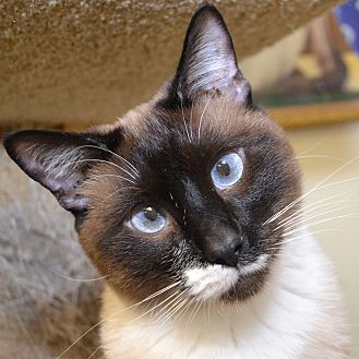 Siamese Cat for adoption in Independence, Missouri - Sir Keller