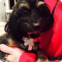 Adopt A Pet :: Velvet - Beavercreek, OH