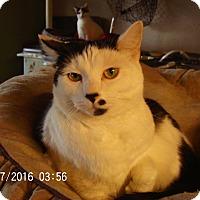 Adopt A Pet :: Domino - Bridgeton, MO