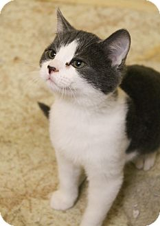 Domestic Shorthair Kitten for adoption in McDonough, Georgia - Tickle