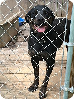 Rottweiler/Labrador Retriever Mix Dog for adoption in Staunton, Virginia - Chancy