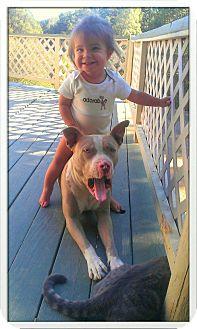 Pit Bull Terrier Dog for adoption in Atascadero, California - Bruce