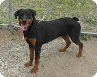 Rottweiler Puppy for adoption in Gary, Indiana - Bliss