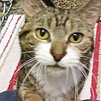 Domestic Shorthair Cat for adoption in Freeport, New York - Samantha