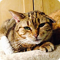 Domestic Shorthair Cat for adoption in Stanhope, New Jersey - Travis