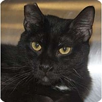 Domestic Shorthair Cat for adoption in Morganton, North Carolina - Midnight