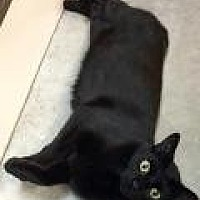Domestic Shorthair Cat for adoption in Livonia, Michigan - Midnight