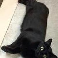 Adopt A Pet :: Midnight - Livonia, MI