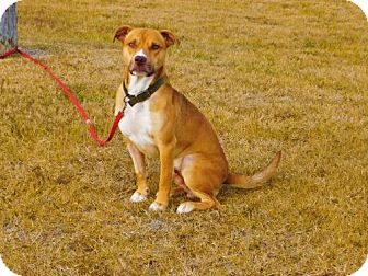 American Pit Bull Terrier Mix Dog for adoption in Tupelo, Mississippi - Clancy-101105j