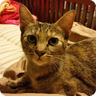Domestic Shorthair Cat for adoption in Shelbyville, Kentucky - May