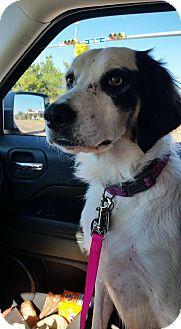 Spaniel (Unknown Type) Mix Dog for adoption in Wichita Falls, Texas - Spirit