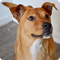 Black Mouth Cur Mix Dog for adoption in Springfield, Massachusetts - Foxy