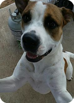 Pointer/Brittany Mix Dog for adoption in San Antonio, Texas - Holly