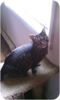 Domestic Shorthair Cat for adoption in Washington Terrace, Utah - Chloe