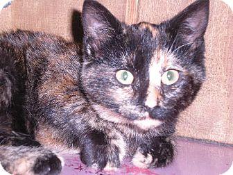 """Calico Cat for adoption in New Castle, Pennsylvania - """" Mara """""""