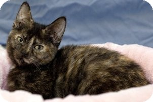 Domestic Shorthair Cat for adoption in Alexandria, Virginia - Daisy