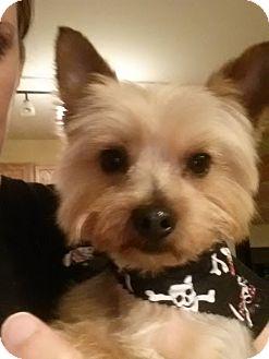Yorkie, Yorkshire Terrier Dog for adoption in Romeoville, Illinois - Cody