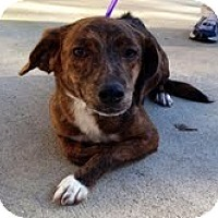 Adopt A Pet :: Saffron (200$ Happy Homing-day - Brattleboro, VT