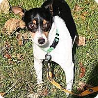 Adopt A Pet :: Kricket Holly - Carmel, IN