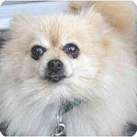 Adopt A Pet :: HoneyBear (Adopted!) - Houston, TX