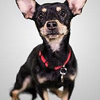 Miniature Pinscher/Dachshund Mix Dog for adoption in Richardson, Texas - Sparky