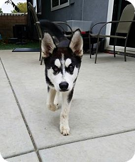 Husky Puppy for adoption in Saugus, California - Rhea