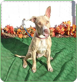 Pharaoh Hound/Labrador Retriever Mix Dog for adoption in Marietta, Georgia - MICKIE