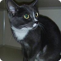 Adopt A Pet :: Boo Mittens - Hamburg, NY