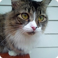 Adopt A Pet :: Aimee Lap Kitty - Woodland Park, NJ