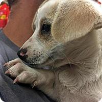 Adopt A Pet :: Rey - Ventura, CA