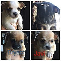 Adopt A Pet :: Puppies - Indianapolis, IN