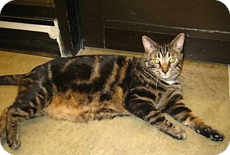 Domestic Shorthair Cat for adoption in Warminster, Pennsylvania - Tugger