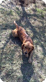 Redbone Coonhound/Labrador Retriever Mix Dog for adoption in Barnwell, South Carolina - Chester