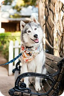 Siberian Husky Dog for adoption in El Cajon, California - Liam