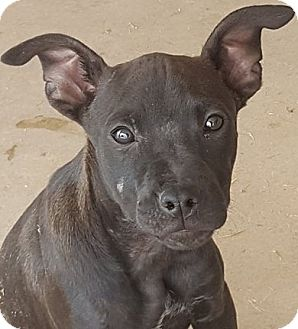 Shepherd (Unknown Type)/American Staffordshire Terrier Mix Dog for adoption in Las Cruces, New Mexico - Axton