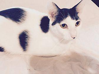 American Shorthair Cat for adoption in Houston, Texas - Mark