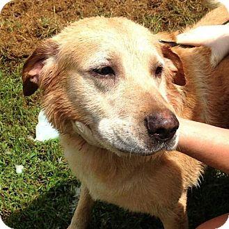 Labrador Retriever Dog for adoption in Rutherfordton, North Carolina - Jake