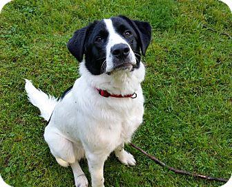 Labrador Retriever/Border Collie Mix Dog for adoption in Cincinnati, Ohio - Padfoot (FKA Astro)