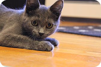 Domestic Shorthair Kitten for adoption in Rochester Hills, Michigan - Mouse