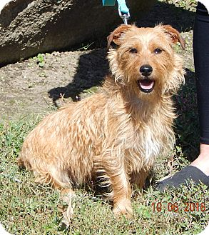 Glen of Imaal Terrier/Cairn Terrier Mix Dog for adoption in West Sand Lake, New York - Ace (14 lb) Great Family Pet!