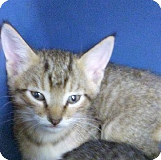 Domestic Shorthair Kitten for adoption in Hollywood, Florida - sheba