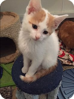 Domestic Shorthair Kitten for adoption in Ashland, Ohio - Kion