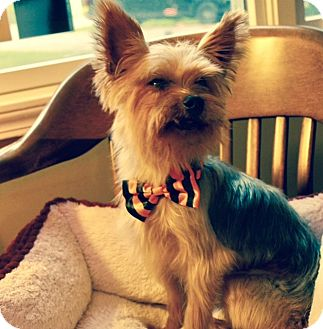 Yorkie, Yorkshire Terrier Dog for adoption in Byrdstown, Tennessee - Jake