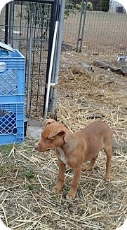 Labrador Retriever Mix Puppy for adoption in Hohenwald, Tennessee - Cherie