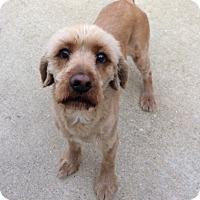 Adopt A Pet :: Jaxon - Mt. Prospect, IL