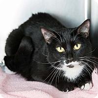 Adopt A Pet :: Salmon - Wheaton, IL