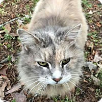 Adopt A Pet :: Miss Kitty - Mount Pleasant, SC